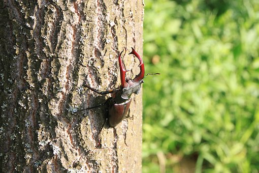 Beetle, Climbing, Male, Stag, Tree, Insects