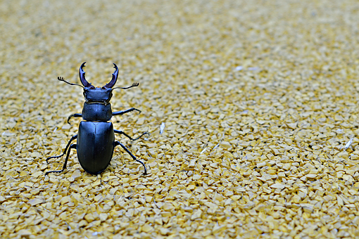 Beetle, Stag Beetle, Minimal, Flying Insects, Insect