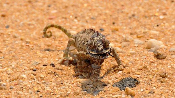 Chameleon, Africa, Namibia, Landscape, Namib Desert