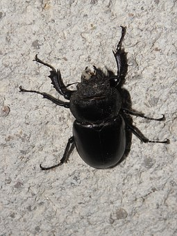 Stag Beetle, Beetle, Forest, Insect, Roháč, Beetles
