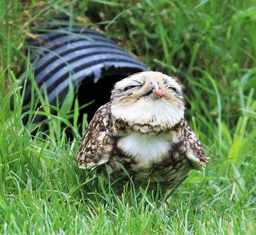Burrowing Owl, Small Owl, Owl, Burrowing, Wildlife