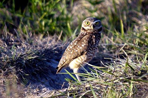 Burrowing Owl, Owl, Birds, South America, Venezuela
