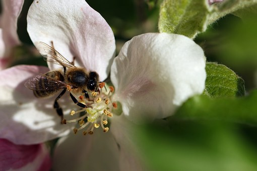 Bee, Pollination, Wings, Spring, Macro, Closeup, Insect