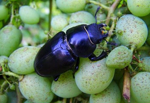 Stag Beetle, Insect, Feminine, Garden, Nature, Black