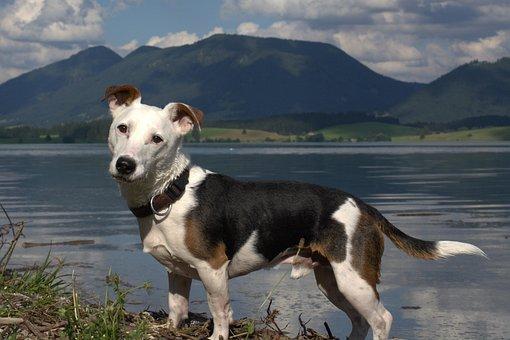 Jack Russel, Panoramic Image, Animal Portrait, Terrier