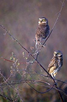 Burrowing Owl, Birds, Owls, Venezuela, Llanos, Animal