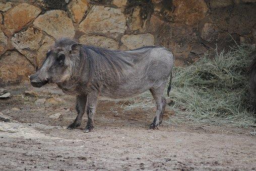 Wild, Warthog, Wildlife, Mammal, Animal, Pig, Forest