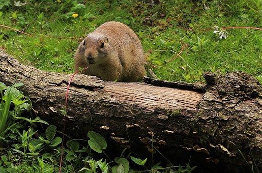 Prairie Dog, Wildlife, Prairie, Cute, Rodent, Animal