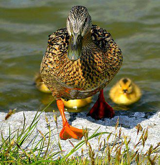 Mallard, Mother, Ducks, Animal Children, Solicitous