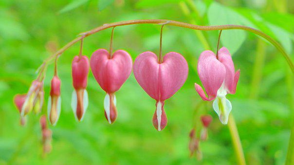 Bleeding Heart, Pink, Blossom, Bloom, Heart, Bloom