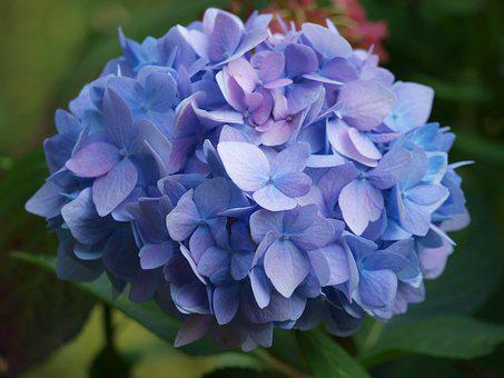 Hydrangea, Blue, Inflorescence, Greenhouse Hydrangea