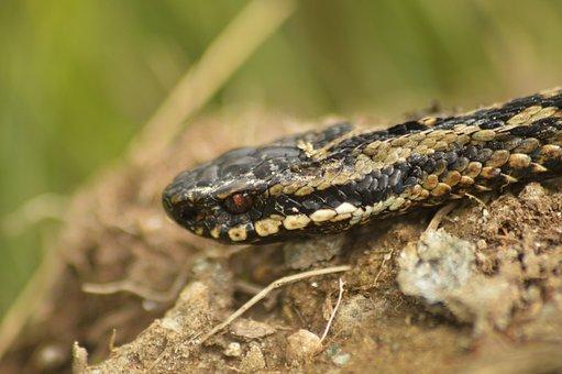 Adder, Snake, Nature, Brown Snake