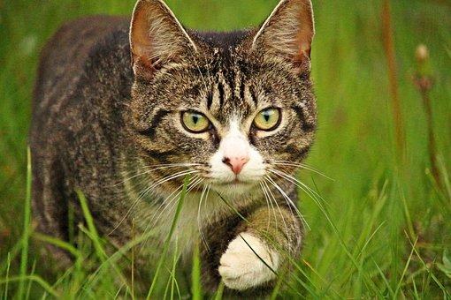 Cat, Tiger Cat, Mackerel, Kitten, Mieze, Animal, Pet