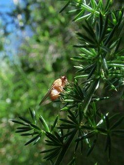 Fruit Fly, Ceratitis Capitata, Diptera
