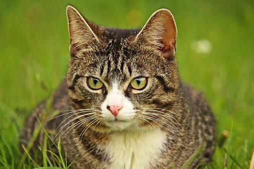 Cat, Tiger Cat, Mackerel, Domestic Cat, Pet, Mieze