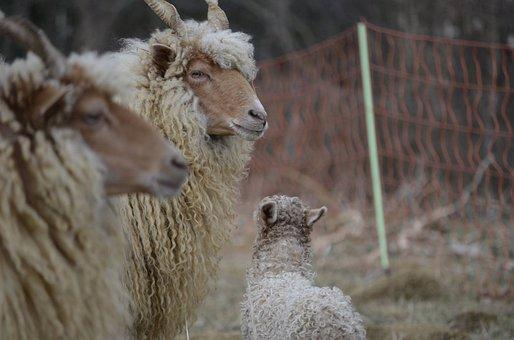 Family, Sheep, Nature, Animals, Racka Sheep