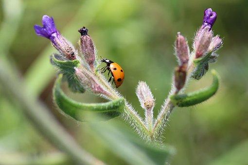 Ladybug, Bugs, Flower, Nature, Plant, Polka Dots, Macro