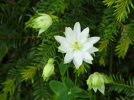 Columbine White, Flower, G, Garden, Columbine, White