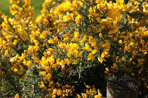 Yellow, Gorse, Nature, Pretty, Spring, Flowers, Spiky