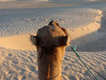 Sand, Sahara, Camel, Africa, Hot, Desert, Dune, Sunset