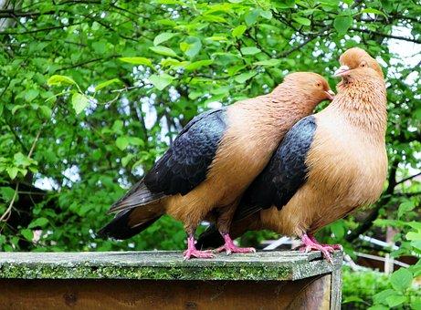 Lovebirds, Pigeons, Pigeon Pair