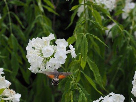 Hummingbird Hawk Moth, Macroglossum Stellatarum
