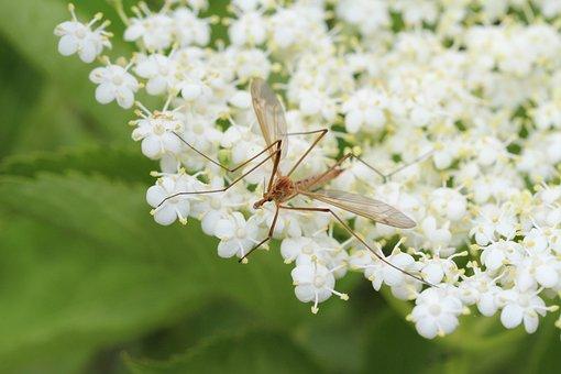 Elder, Mosquito, Male Mosquito, Elderflower, Plant