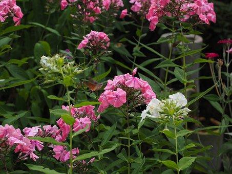 Phlox, Lock-up Herb Plants, Polemoniaceae