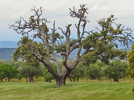 Carrasca, Encina, Tree, Old, Nature, Plant, Landscape