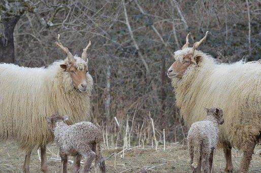 Twins, Sheep, Nature, Animal Babies