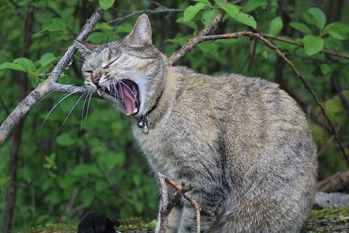 Cat, Meow, Snarling
