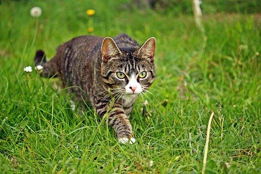 Mieze, Cat, Kitten, Sneak Up On, Stalk, Domestic Cat