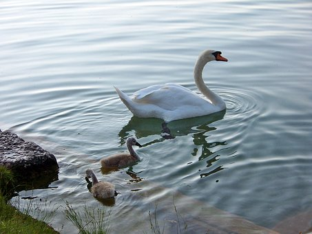 Animals, Birds, Swans, Lake Bled, Family, Young