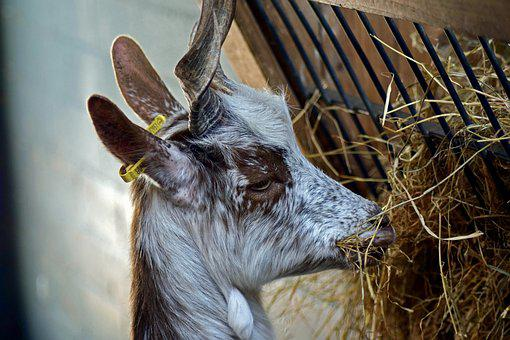 Girgentana Goat, The Animal Park Arche Warder