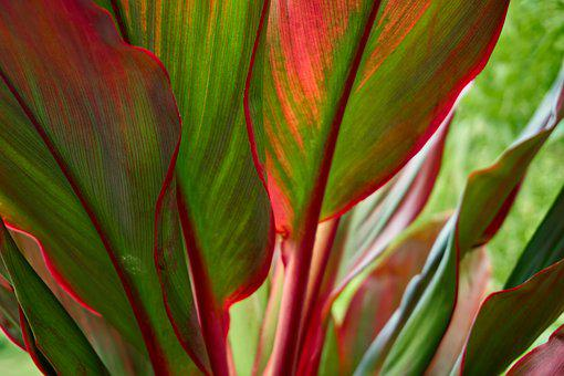 Ti Plant, Red, Green