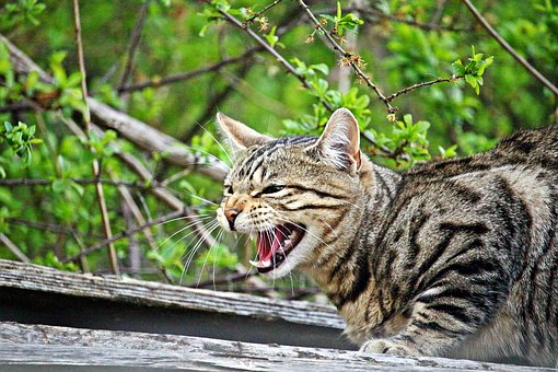 Cat, Mieze, Hiss, Kitten, Tiger Cat, Tiger, Mackerel