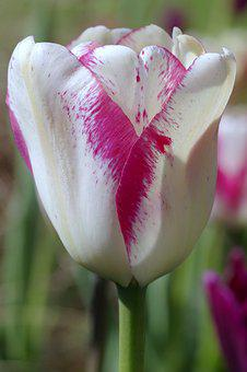 Tulip, White And Red, Pink, Violet, White, Red
