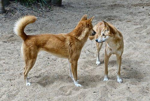 Dingo, Dog, Canine, Australia, Wildlife, Carnivore