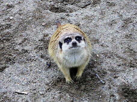 Zoo, Wildlife Photography, Meerkat