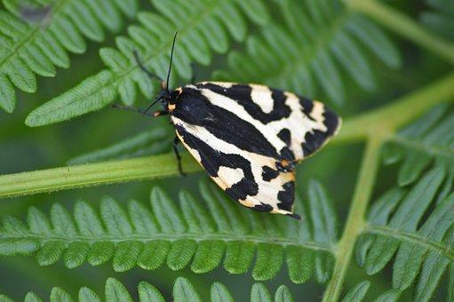 Wood Tiger, Moth, Nature