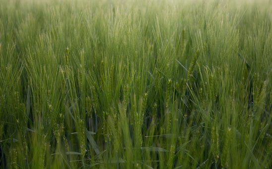 Cornfield, Field, Green, Agriculture, Nature, Grain