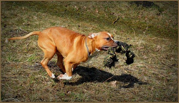 Amstaff, Dog, Staffy, Staffordshire, Animal, Pet