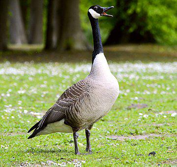 Canada Goose, Chatter, Poultry, Bill, Animal World