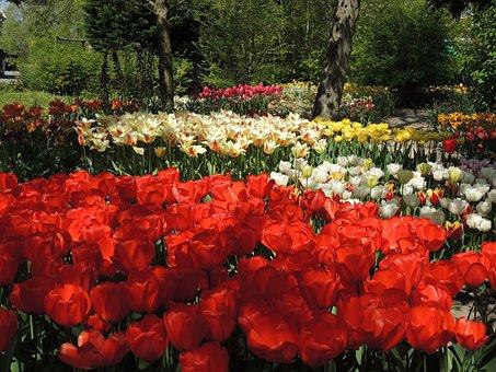 Garden, Tulips, Anna Paulowna, Polder Garden