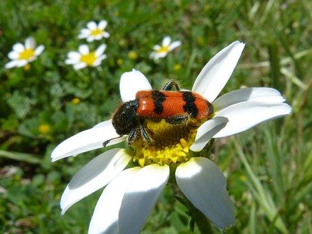 Beetle, Flower, Meloidea, Mylabris, Mylabris Variabilis