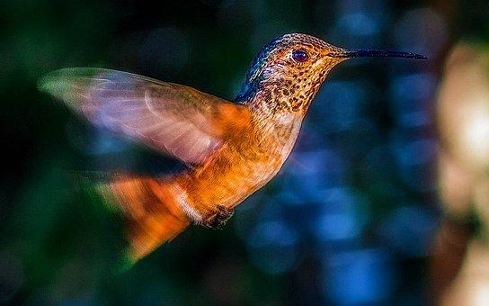 Hummingbird, Bird, Flight, Wildlife, Flying, Green