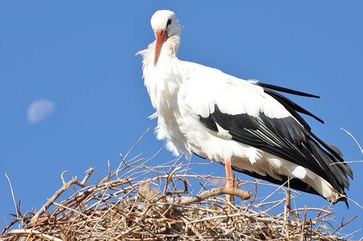 Stork, Luna, Animals, Nest, Bird