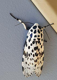 Leopard Moth, Bug, Insect, Black, White, Spotted