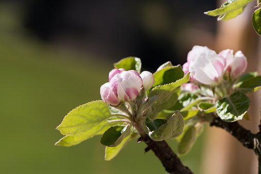 Apple Tree Flowers, Apple Tree, Branch, Flowers