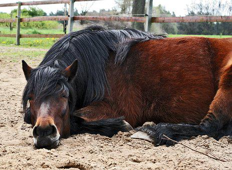 Pony, Higland Pony, Gelding, Brown, Concerns, Sleep